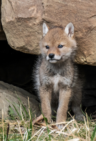 Coyote Kit_2019-05-15_DSC6156 - Coyotes - Walter Nussbaumer Photography