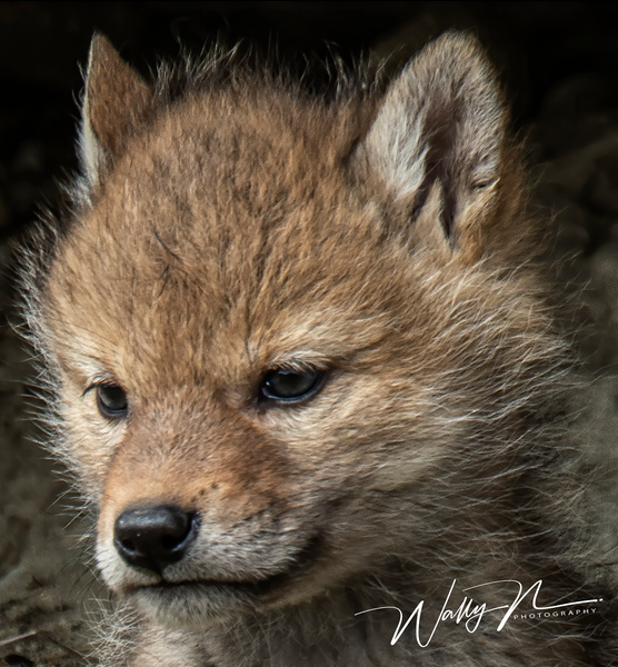 Coyote Kit_DSC6051 - Coyotes - Walter Nussbaumer Photography