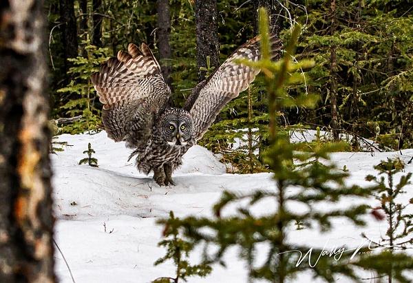 Great Grey Owl_29_03_2013_IMG_6404 - Great Grey Owls - Walter Nussbaumer Photography