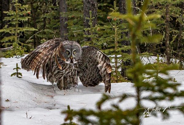 Great Grey owl_29_03_2013_IMG_6403 - Great Grey Owls - Walter Nussbaumer Photography