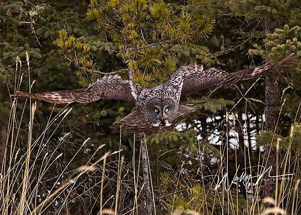 Great Grey Owl_29_03_2013_IMG_6352 - Great Grey Owls - Walter Nussbaumer Photography