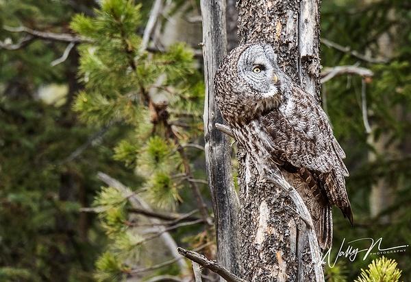 GGO-21-03-2016_DSC5229 - Great Grey Owls - Walter Nussbaumer Photography