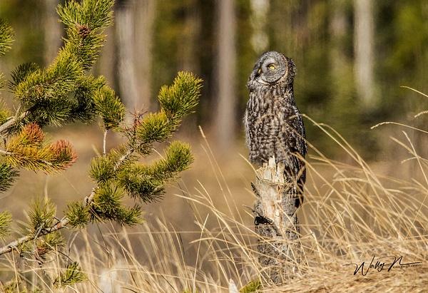 GGO_R8A2679 - Great Grey Owls - Walter Nussbaumer Photography