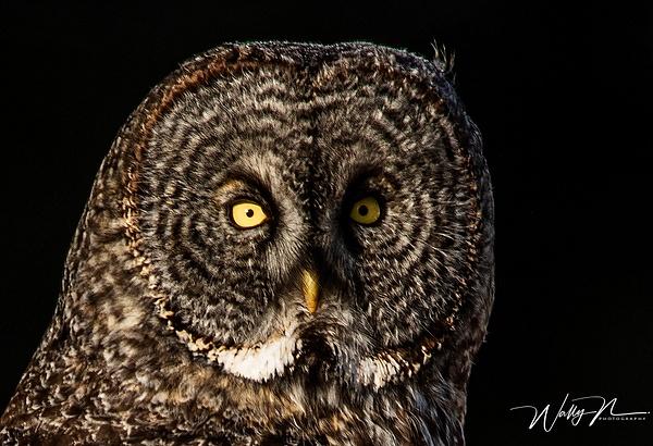 GGO_0R8A2798 - Great Grey Owls - Walter Nussbaumer Photography