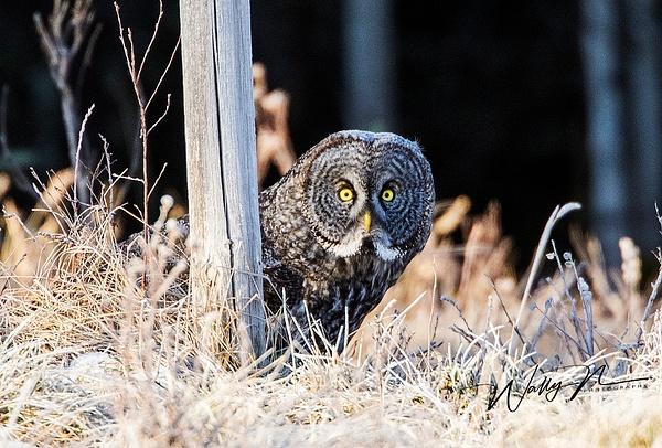 GGO19_04_20150R8A2710 - Great Grey Owls - Walter Nussbaumer Photography