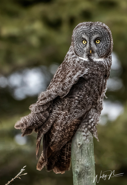 GGO_R8A0433 - Great Grey Owls - Walter Nussbaumer Photography