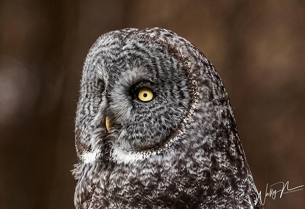 GGO_R8A0467 - Great Grey Owls - Walter Nussbaumer Photography
