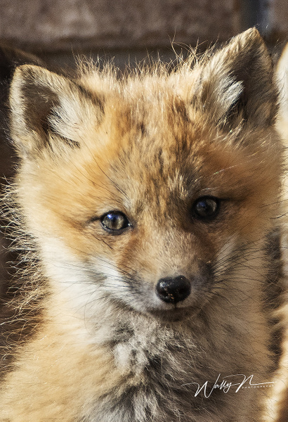 Fox Kit_R8A7151 - Foxes - Walter Nussbaumer Photography