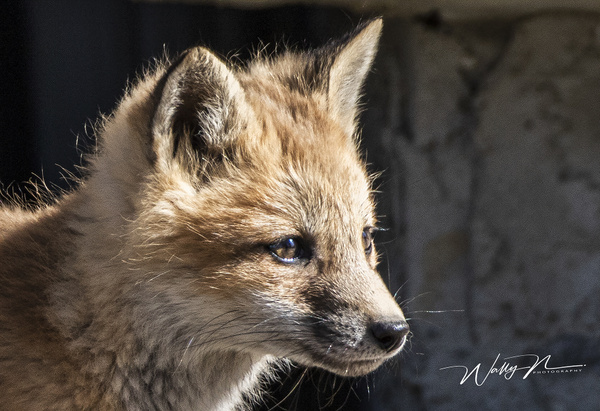 Fox Kit_R8A7202 - Foxes - Walter Nussbaumer Photography