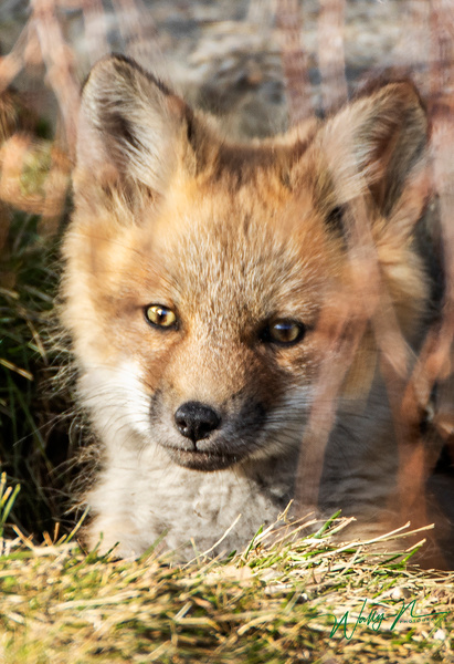 RF Kit_2020-04-30_R8A7731 - Foxes - Walter Nussbaumer Photography