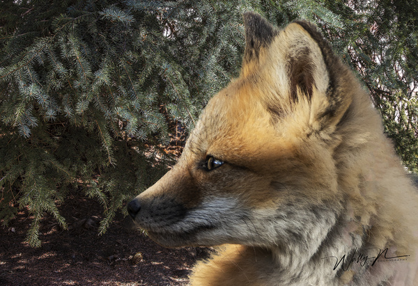 RF Kit_2020-04-30_R8A7750 - Foxes - Walter Nussbaumer Photography