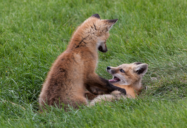 Red Fox Kits_MG_5408 - Foxes - Walter Nussbaumer Photography