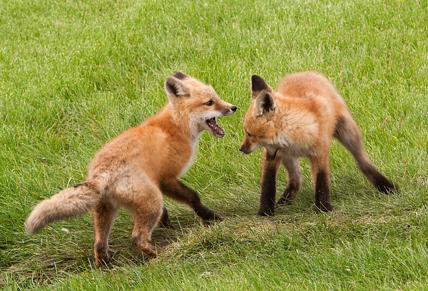 Young foxes playing - Foxes - Walter Nussbaumer Photography