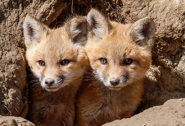 Twins_MG_0470 - Foxes - Walter Nussbaumer Photography