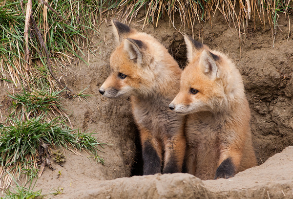 Red Fox Kits_F3O0166 - Foxes - Walter Nussbaumer Photography