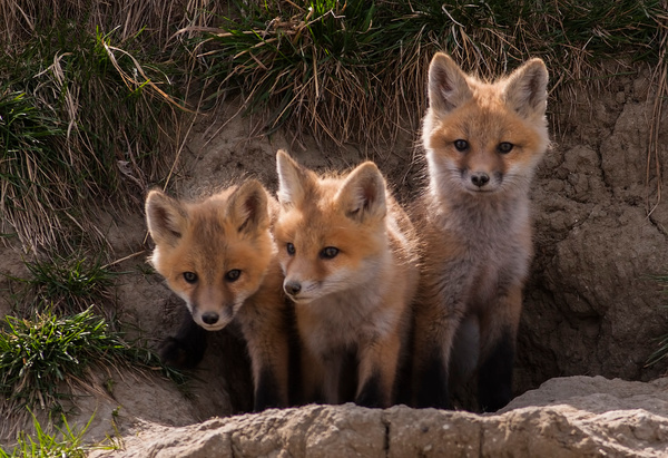 Siblings_WM_F3O9944 - Foxes - Walter Nussbaumer Photography