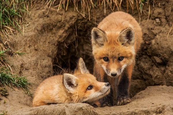 Red Fox Kits_F3O0120 - Foxes - Walter Nussbaumer Photography