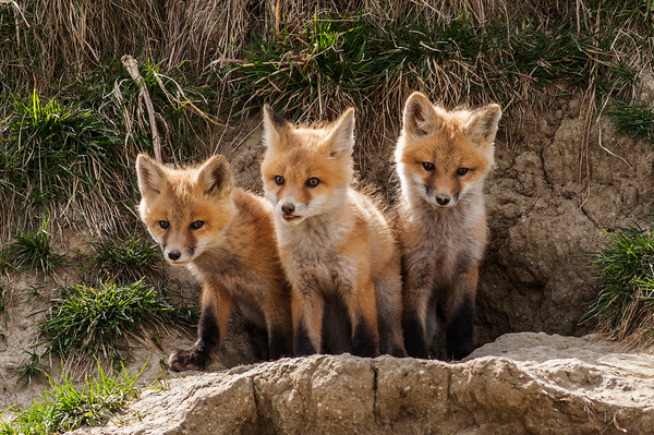 Kits_F3O9945 - Foxes - Walter Nussbaumer Photography