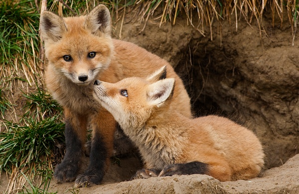 Red Fox Kits CPC _F3O0130 - Foxes - Walter Nussbaumer Photography