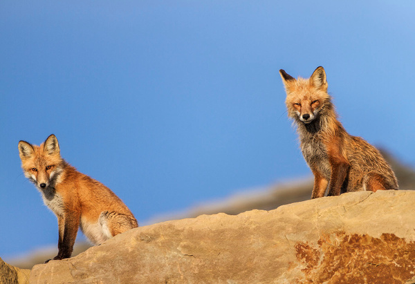 RF Father and Son_IMG_9721 - Foxes - Walter Nussbaumer Photography