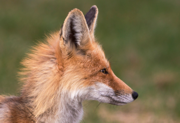 Red Fox_073A6919 - Foxes - Walter Nussbaumer Photography