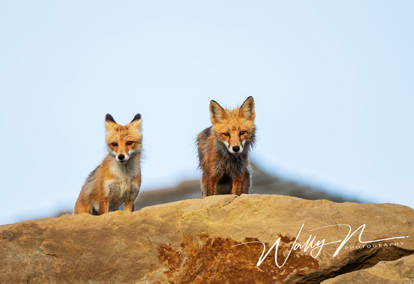 Red Fox_25_06_2013_73A0379 - Foxes - Walter Nussbaumer Photography