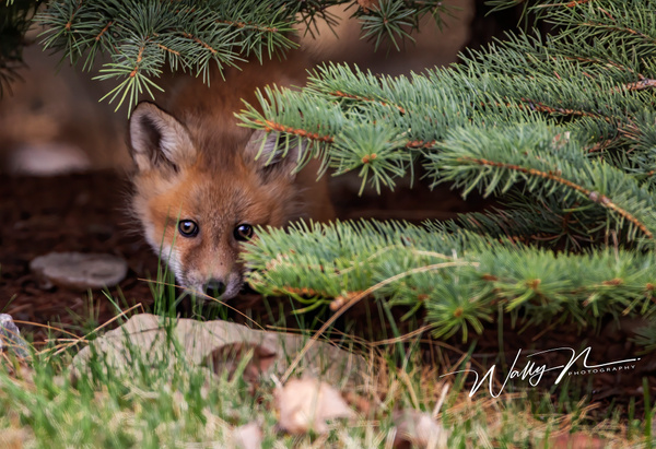 Fox Kit_073A6936 - Foxes - Walter Nussbaumer Photography