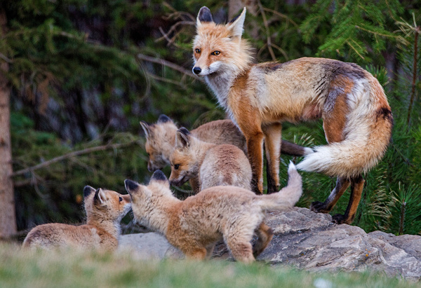 Red Fox Family073A6800 - Foxes - Walter Nussbaumer Photography
