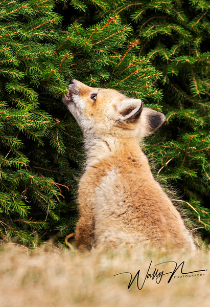 Fox Kit_073A6948 - Foxes - Walter Nussbaumer Photography