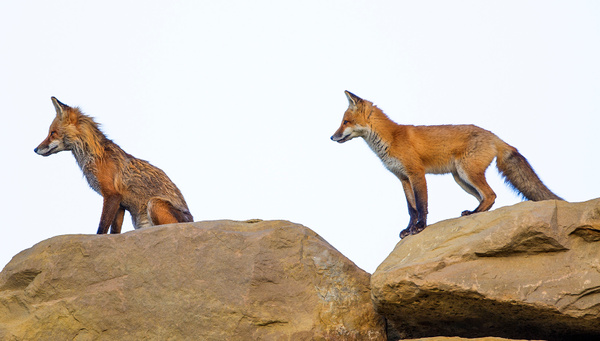 Red FoxB_25_06_2013_73A0441 - Foxes - Walter Nussbaumer Photography