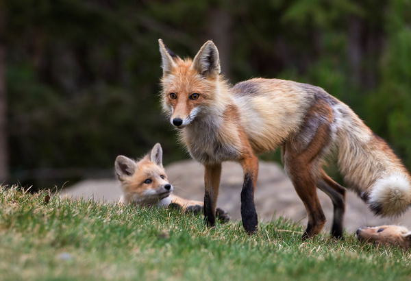 Red Fox and Kits073A7037 - Foxes - Walter Nussbaumer Photography