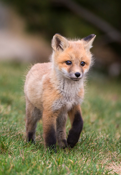 Red Fox Kit_073A6928 - Foxes - Walter Nussbaumer Photography
