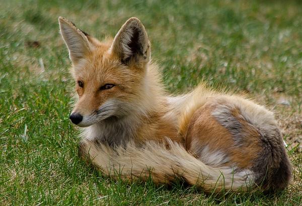 Red Fox Vixen__DSC2813 - Foxes - Walter Nussbaumer Photography