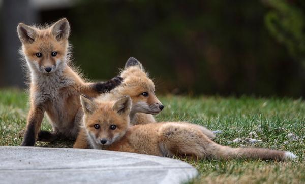 Red Fox Kits_073A7092 - Foxes - Walter Nussbaumer Photography