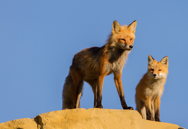 Red Fox_25_06_2013_IMG_9769 - Foxes - Walter Nussbaumer Photography