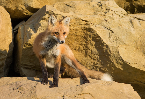 Red Fox_73A0051 - Foxes - Walter Nussbaumer Photography