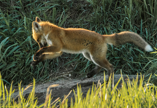 Red Fox Kit_0R8A4386 - Foxes - Walter Nussbaumer Photography