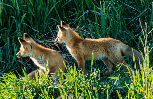 Red Fox Kits_0R8A4117 - Foxes - Walter Nussbaumer Photography