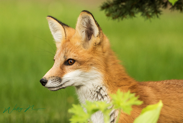 Red Fox Kit-06-2016_0R8A9955 - Foxes - Walter Nussbaumer Photography