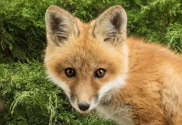 Red Fox Kit_11-05-2016_0R8A0286 - Foxes - Walter Nussbaumer Photography
