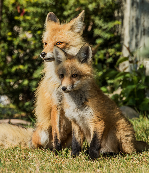 Red Fox and Kit_0R8A0520 - Foxes - Walter Nussbaumer Photography