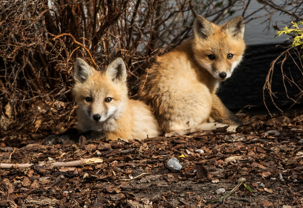 RFox Kits_0R8A9999 - Foxes - Walter Nussbaumer Photography