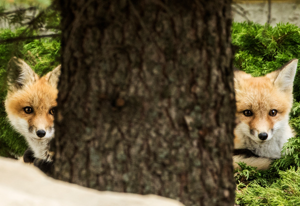 Two RF KIts_0R8A0177 - Foxes - Walter Nussbaumer Photography