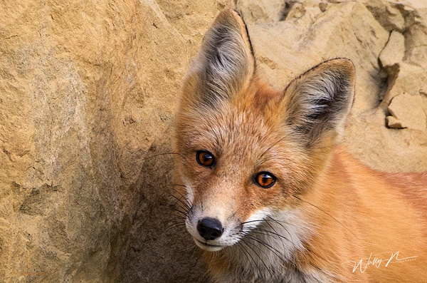 Red Fox_73A1048 - Foxes - Walter Nussbaumer Photography