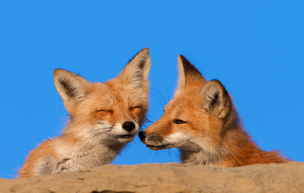 Red Fox Pair_IMG_0107 - Foxes - Walter Nussbaumer Photography
