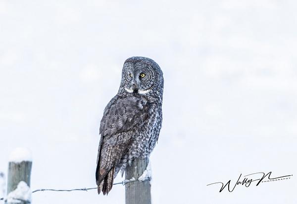 GGO_R8A6355 - Great Grey Owls - Walter Nussbaumer Photography