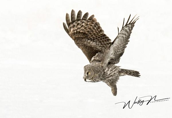GGO_DSC_0011 - Great Grey Owls - Walter Nussbaumer Photography