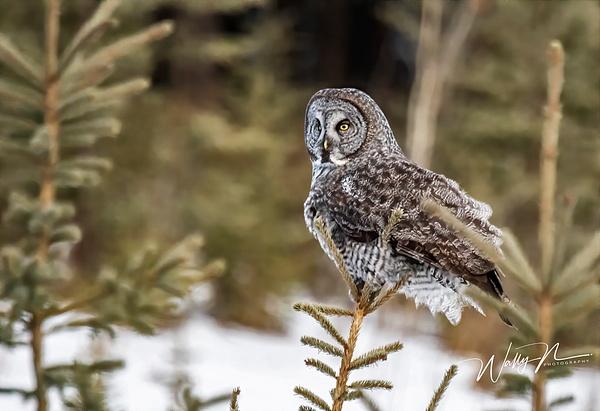 GGO_DSC_0186 - Great Grey Owls - Walter Nussbaumer Photography