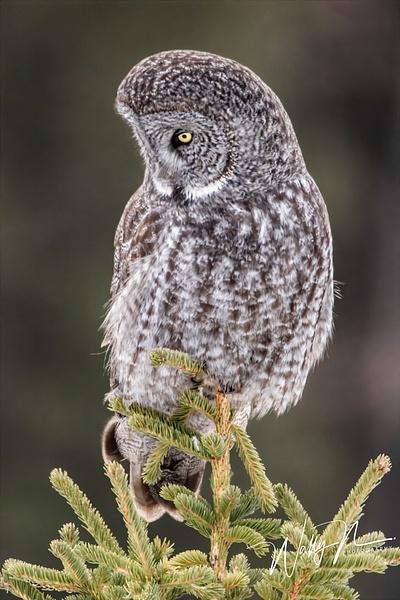 GGO_R8A6280 - Great Grey Owls - Walter Nussbaumer Photography