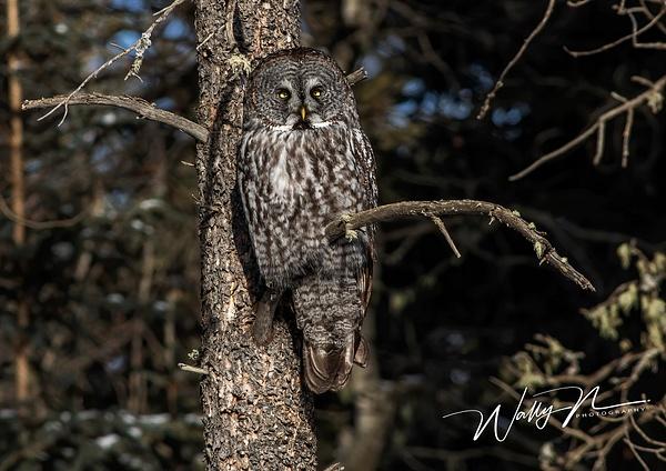 GGO(B)_R8A6755 - Great Grey Owls - Walter Nussbaumer Photography
